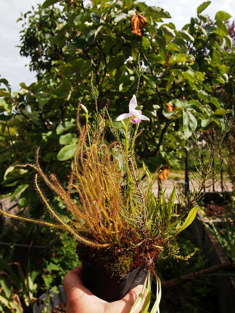 Orchideen 3 (fortlaufende Seiten 300 bis 400) - Seite 58 P6160810