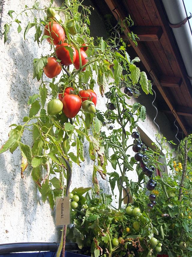 Solanaceae - Tomaten & Chili, aber auch Petunien und andere Schönheiten ;) - Seite 98 P9141110
