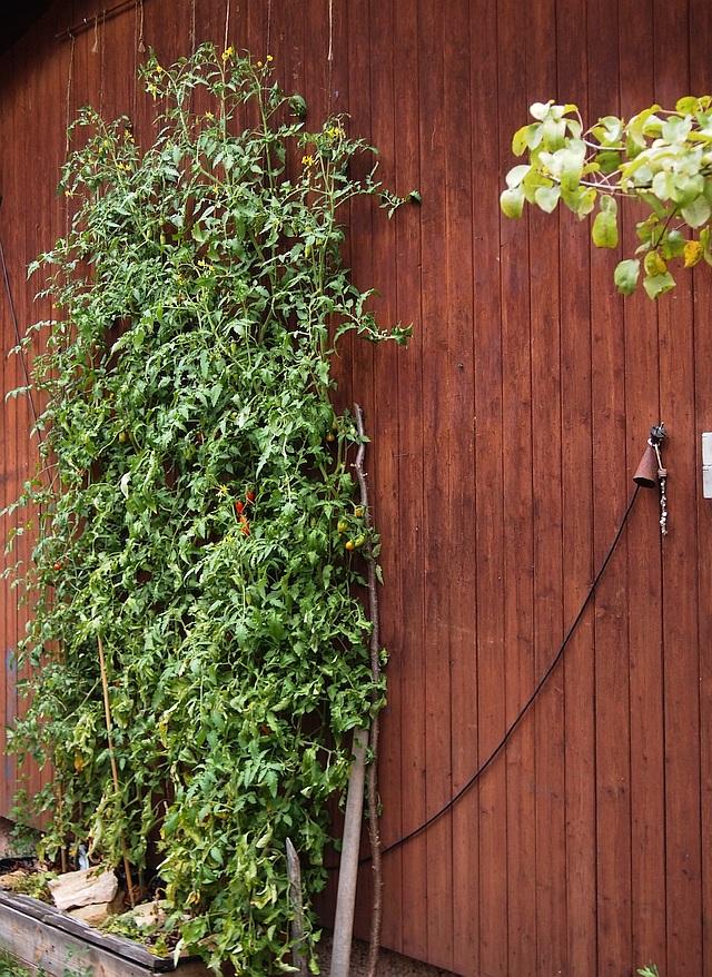 Solanaceae - Tomaten & Chili, aber auch Petunien und andere Schönheiten, Teil 2 Pa051111
