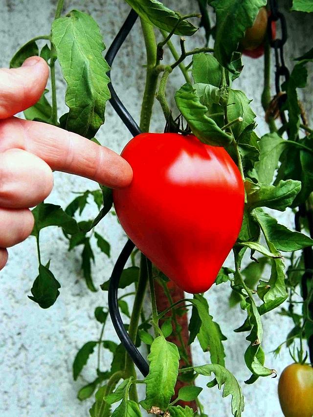 Solanaceae - Tomaten & Chili, aber auch Petunien und andere Schönheiten, Teil 2 Pa051112