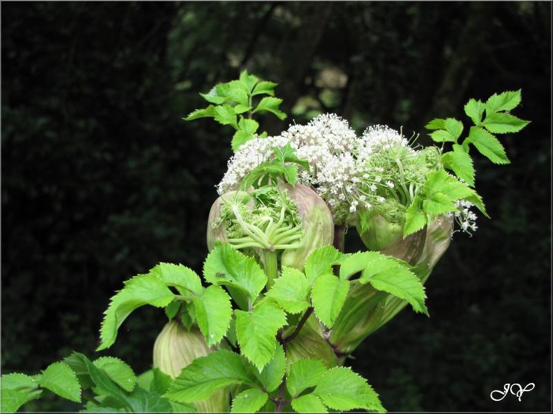 Ombellifère (Angelica sylvestris) Angeli10