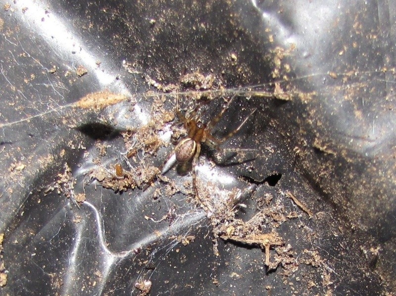 Araignées sans étiquette. Araign12