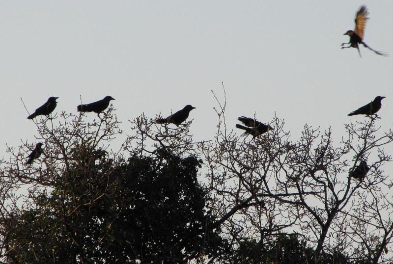 oiseaux Corbea10
