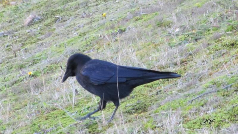 oiseaux Corbea12