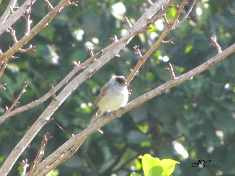 oiseaux Fauvet10