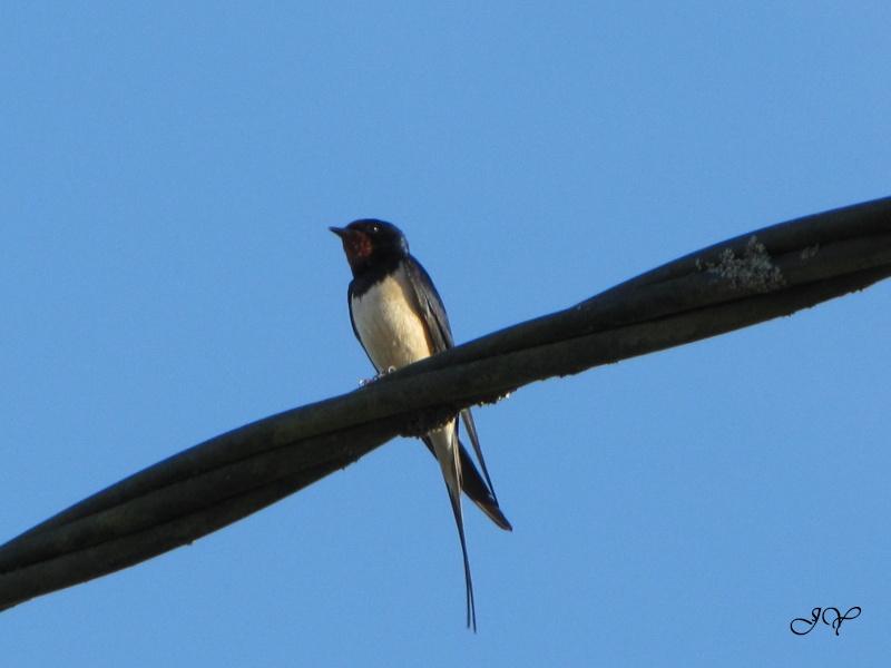 oiseaux Hirond10