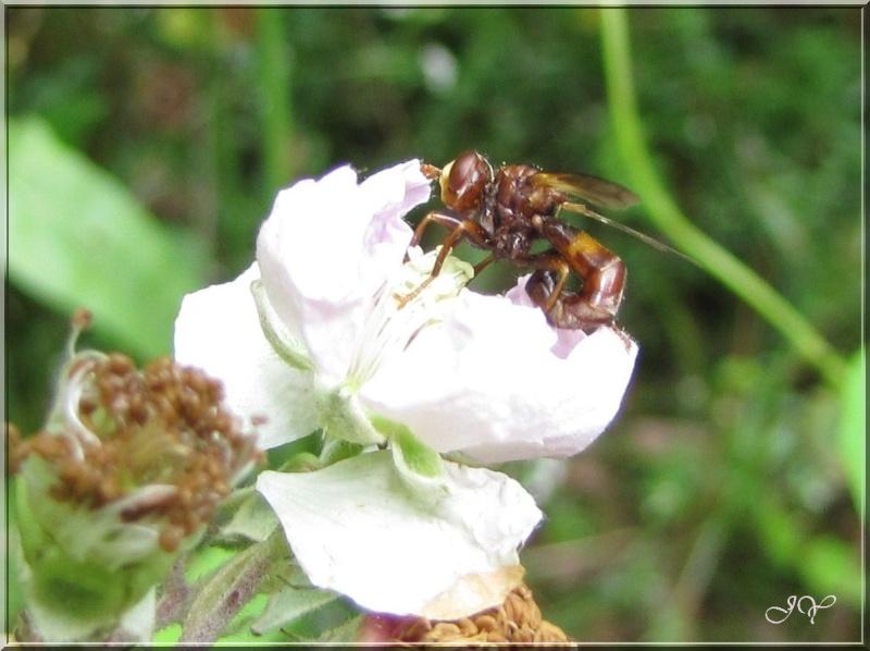 Autres mouches. Sicus_10