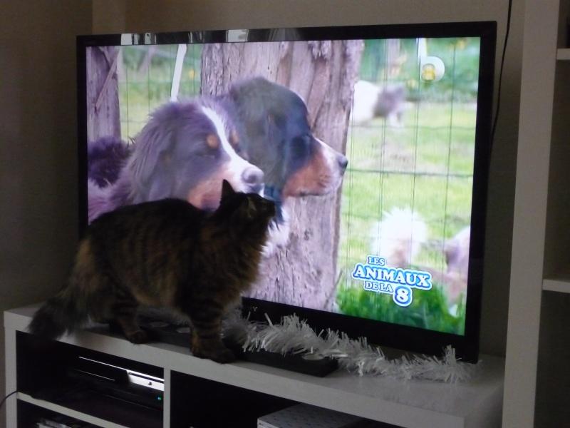 HALF, chaton tigré aux poils longs, né vers le 15 Avril 2012 P1050112