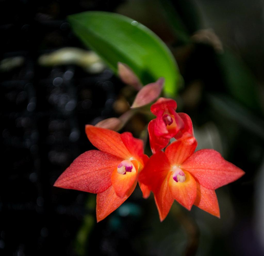 Miniatur-Orchideen Teil 6 - Seite 5 01112021