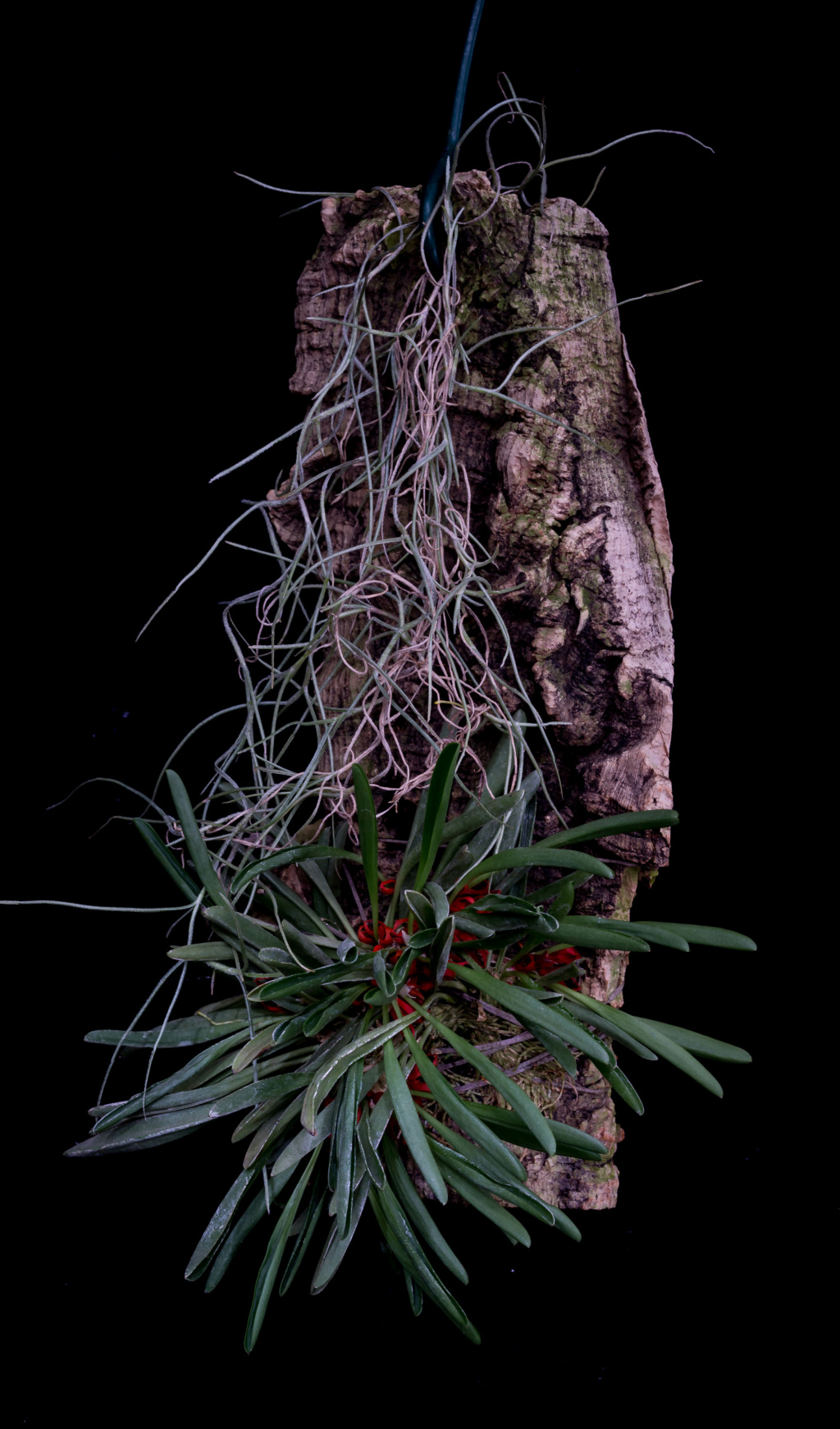 Specklinia tribuloides 'Völkerbaum' 05052020