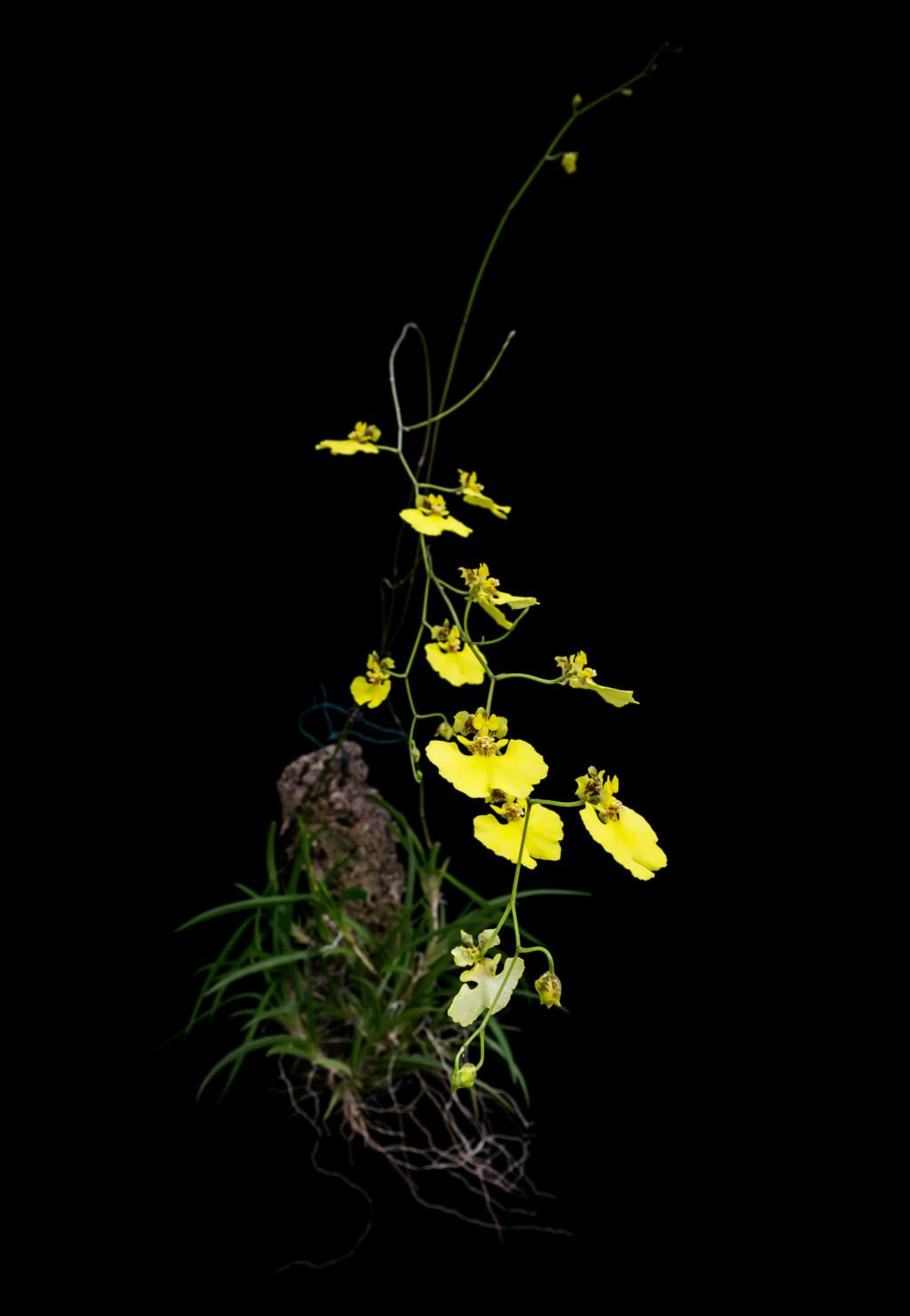 Tolumnia urophylla 05052023