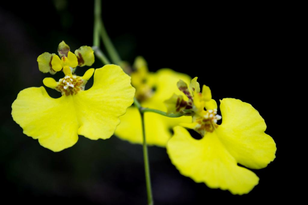 Tolumnia urophylla 05052024