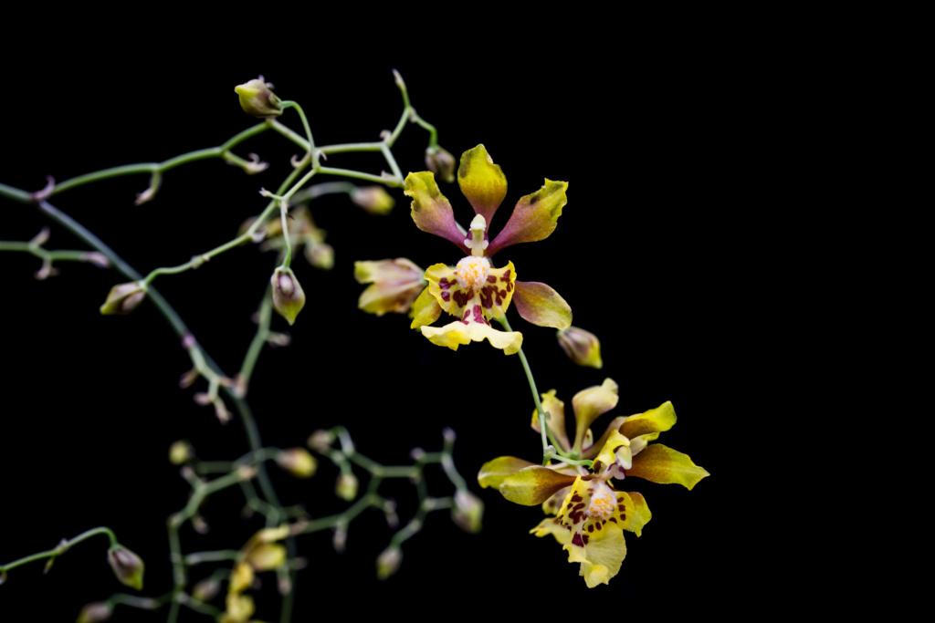 Oncidium divaricatum (Grandiphyllum divaricatum) 06062013