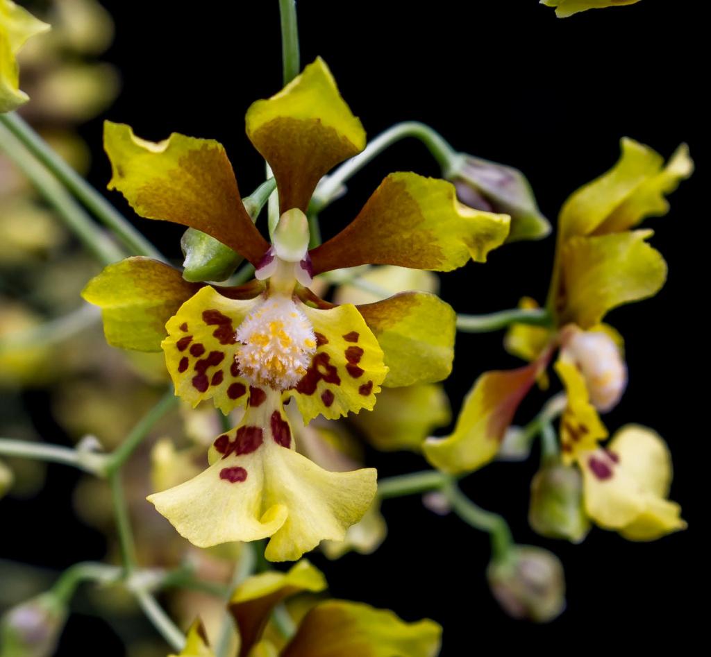 Oncidium divaricatum (Grandiphyllum divaricatum) 06062014