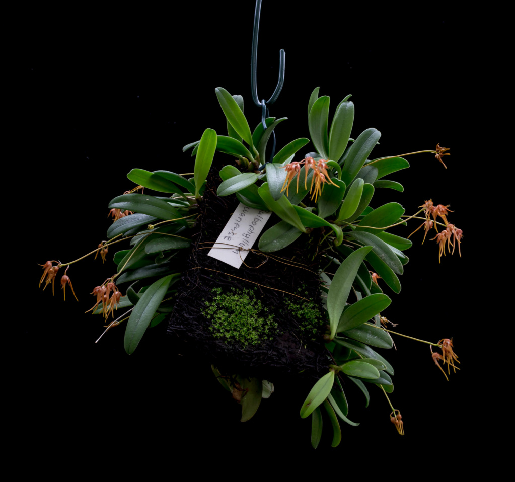 Miniatur-Orchideen Teil 6 - Seite 16 07032012