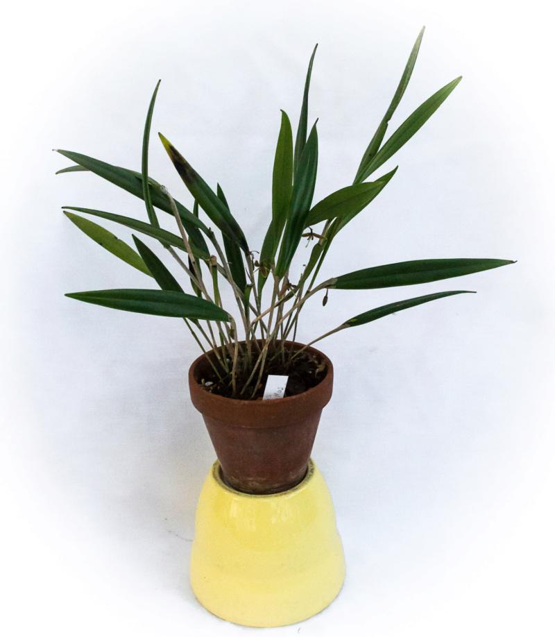 Myoxanthus conhophyllus 12101828
