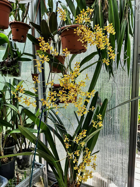 Oncidium divaricatum (Grandiphyllum divaricatum) 20062010