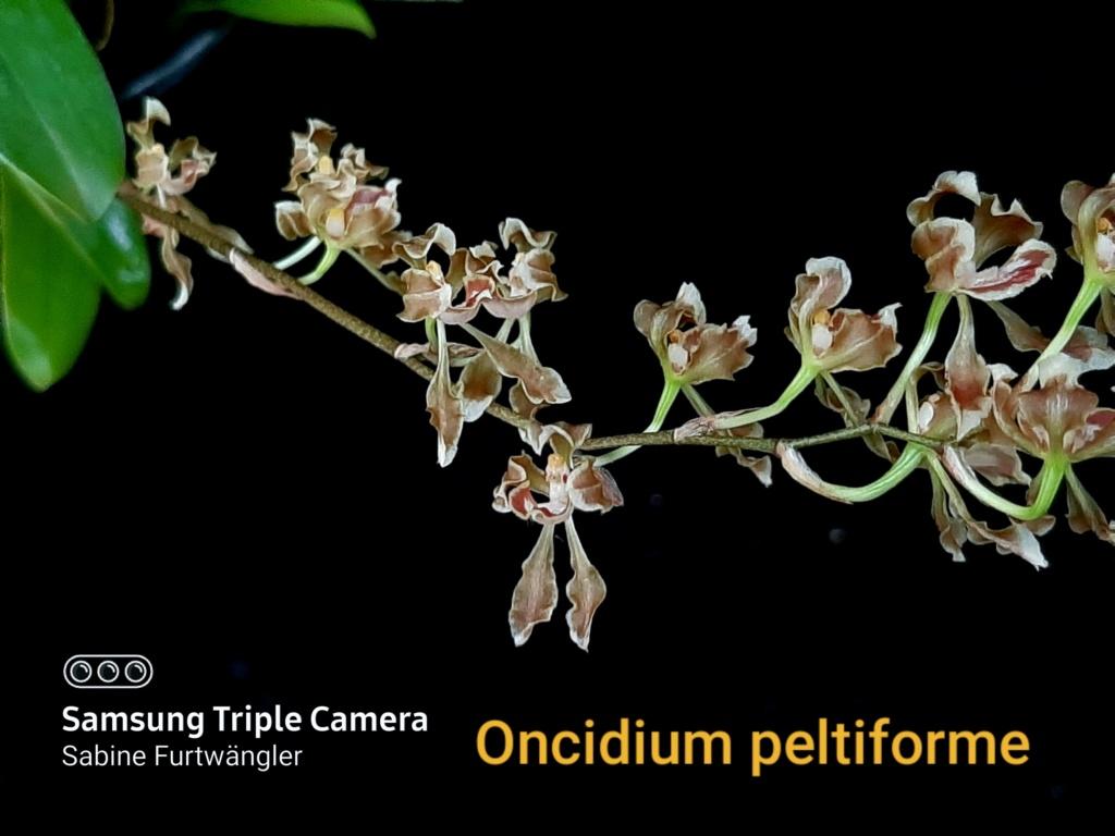 Oncidium peltiforme  20201211