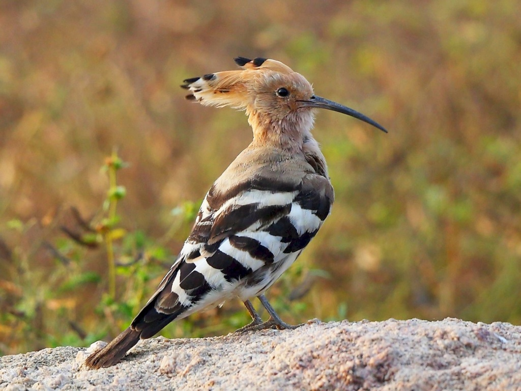 Competing with a child - memories from my youth Hoopoe10