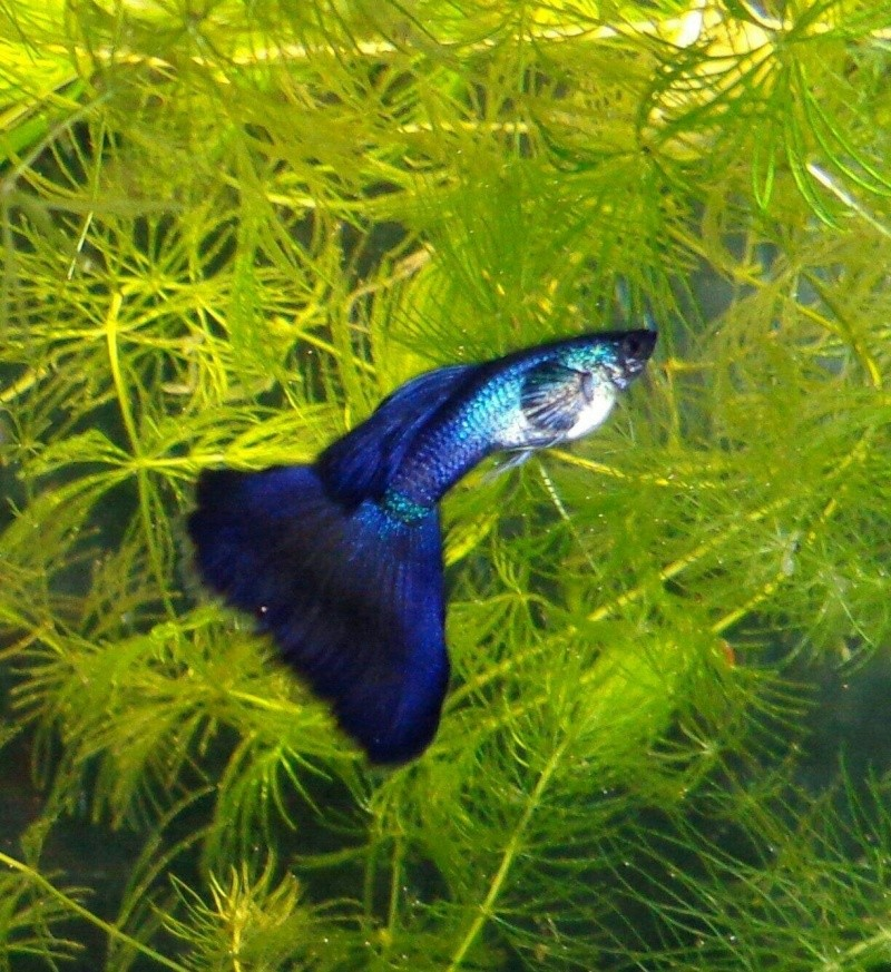 Moscow Guppies 50885110