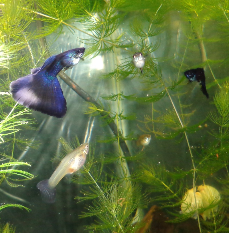 Moscow Guppies Ddpurp10