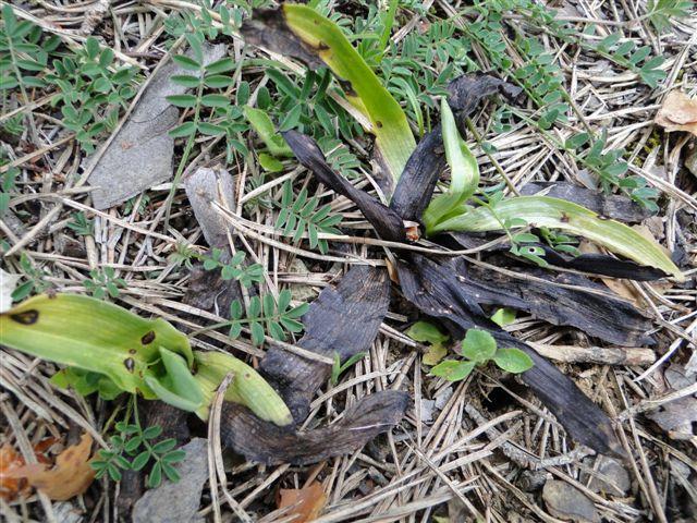 ophrys malades - enquête Dsc03411