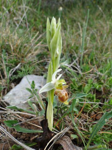 ophrys malades - enquête Dsc03412