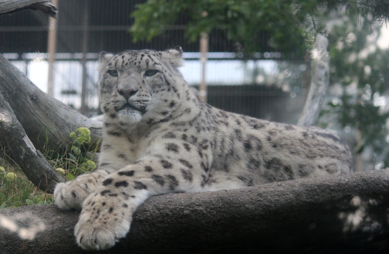 Snow Leopards Img_1510