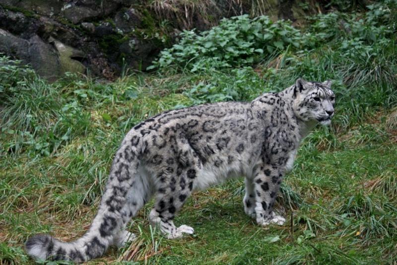 Snow Leopards Img_2610