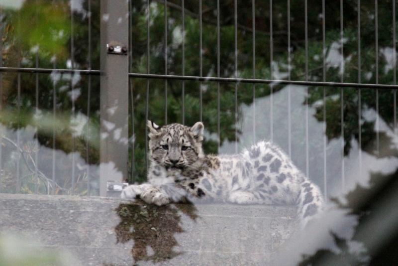 Snow Leopards Img_2611