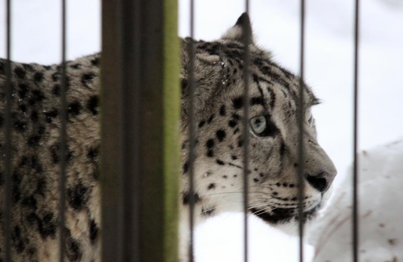 Snow Leopards Img_3312