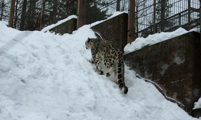 Snow Leopards Img_3313