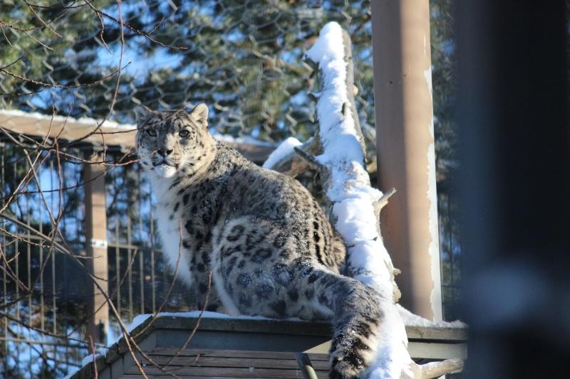 Snow Leopards Img_3510