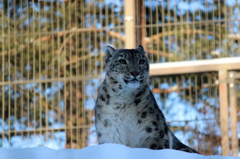 Snow Leopards Img_3610