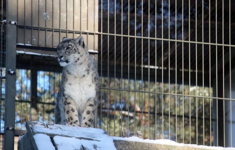 Snow Leopards Img_3611