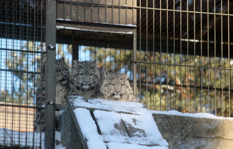 Snow Leopards Img_3710