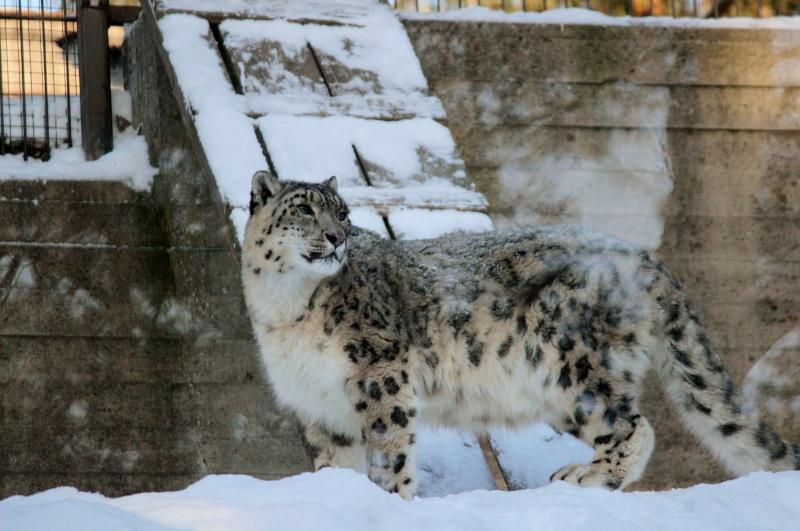 Snow Leopards Img_3810
