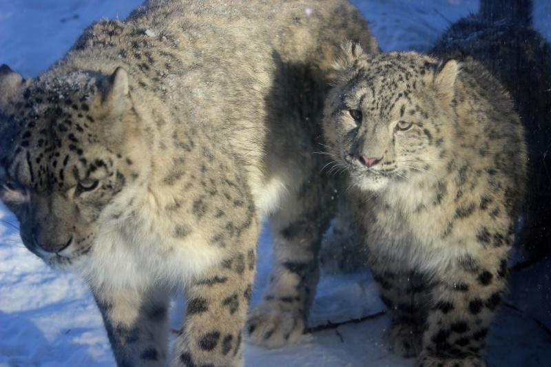 Snow Leopards Img_3911