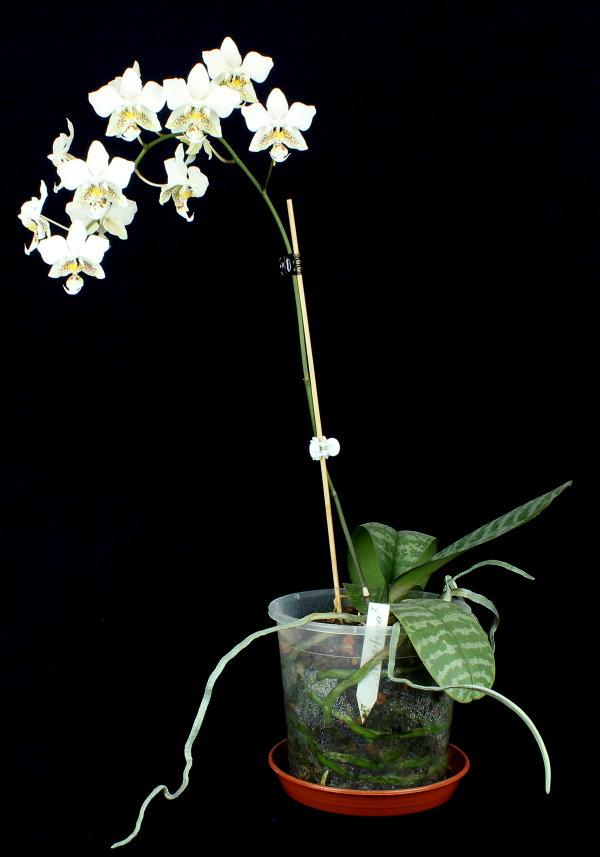 Phalaenopsis stuartiana Img_9411
