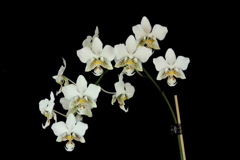 Phalaenopsis stuartiana Img_9412