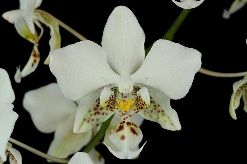Phalaenopsis stuartiana Img_9413