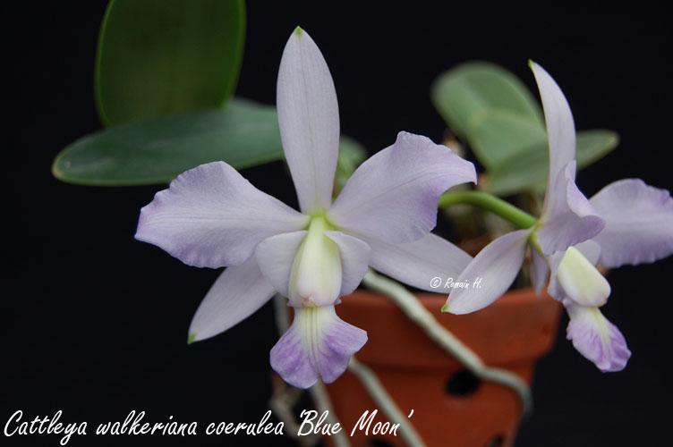 """Cattleya walkeriana coerulea """"Blue Moon"""" Cattle10"""