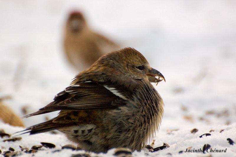 Bec croisé......? Oiseau28