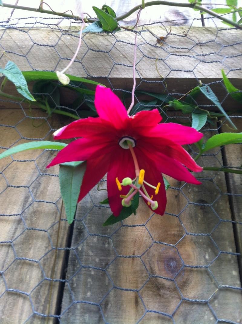 Passiflora antioquiensis not flowering 2012-112
