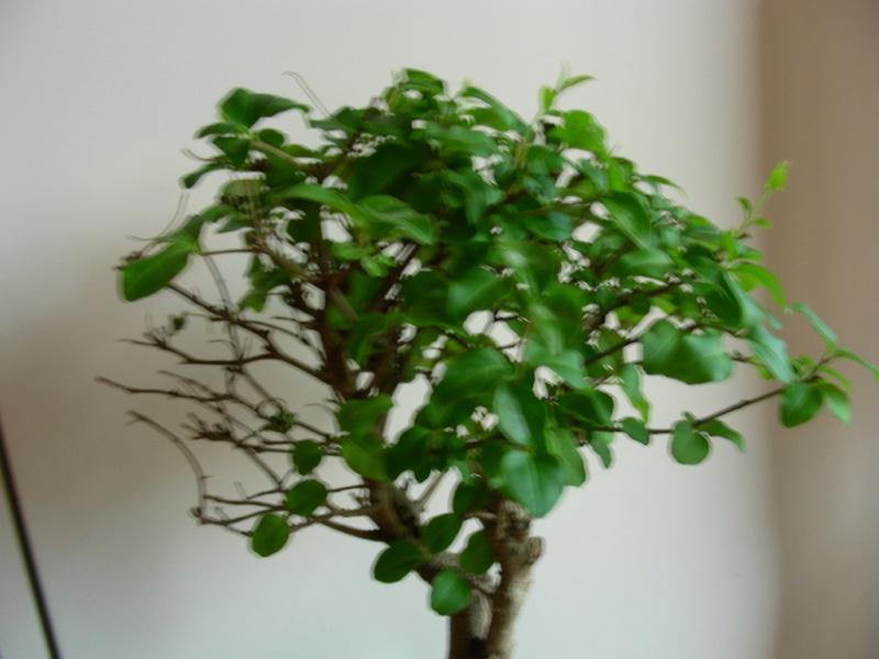 ligustro perde foglie Dscn8619