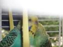 Mes perruches male ou femelle ? 210