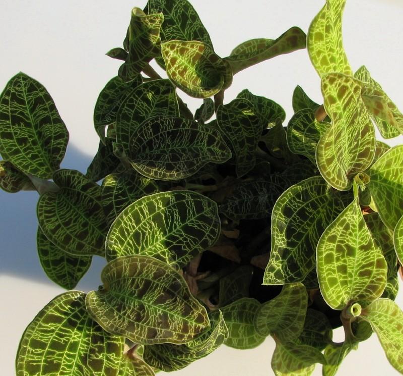 Blattjuwelen - Ludisia, Macodes, Anoectochilus, Dossinia, Goodyera und ähnliche Macode13