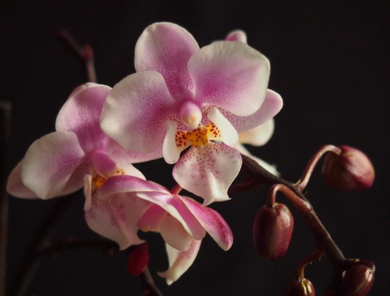 Phalaenopsis Jiaho's Pink Girl Phalae10