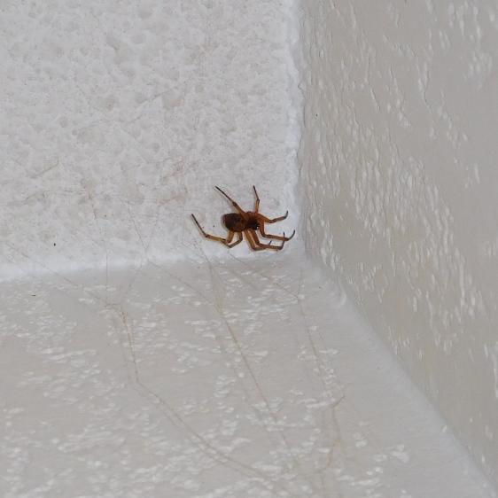 Araignée marron clair extrémité des pates foncés dos brun chez moi 20181213