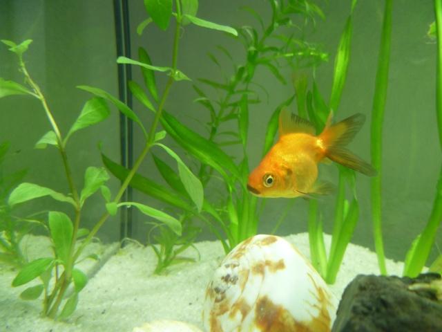 Lancement aquarium 100l, 2 poissons japonais P1010513
